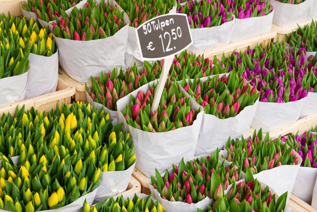 tulip flowers amsterdam, netherlands